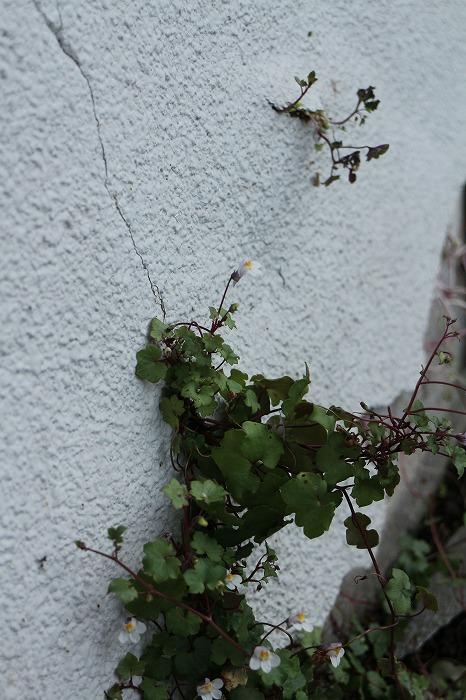 壁に登って花を咲かせてる 1 8 31