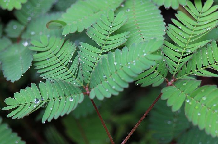 オジギソウの葉 1 9 11