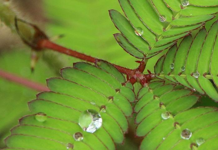 オジギソウの葉に近付いて 1 9 11