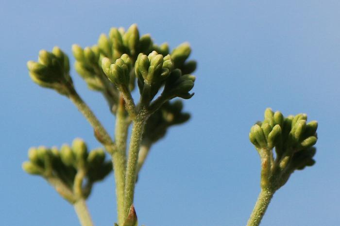 藤袴 白い花の蕾 1 9 15