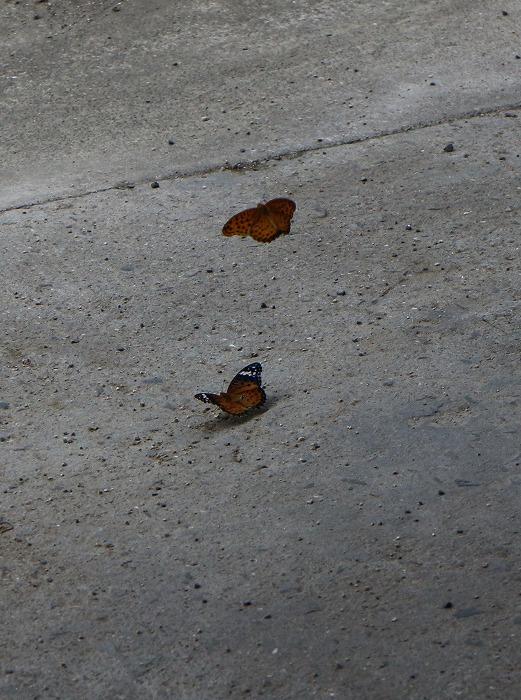 ツマグロヒョウモン 雄と雌と 1 9 18