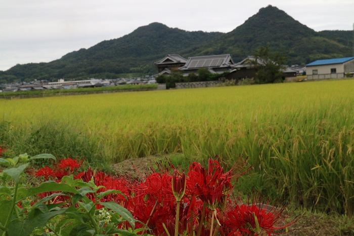 貴峰山と彼岸花と稲穂と 1 9 24