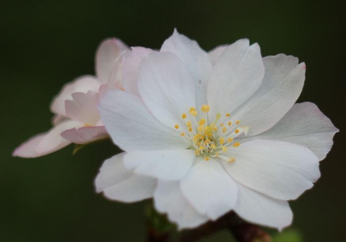 十月桜 咲く 爺神山 1 9 30