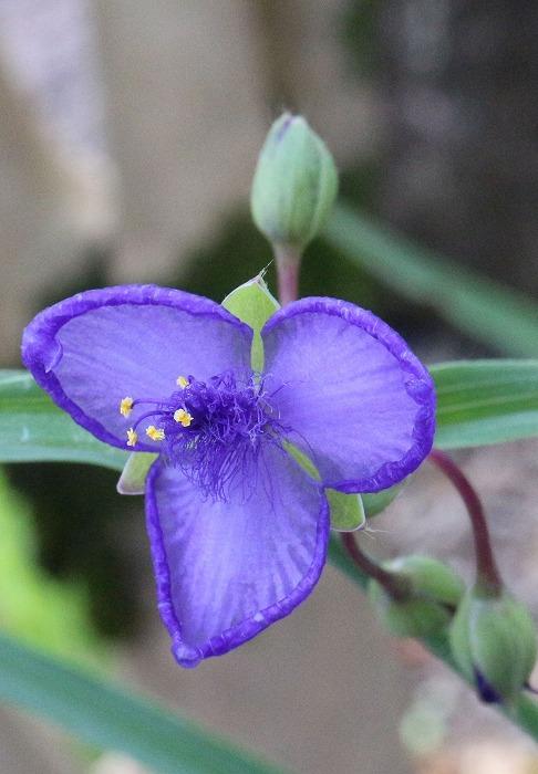 本種坊の庭に 紫露草 1 9 29
