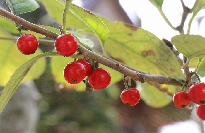 本種坊の庭に 赤い実が 1 9 29