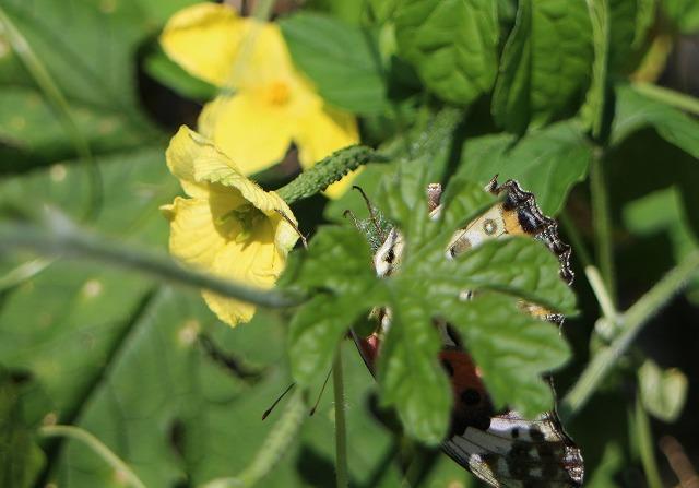 ゴーヤの花に 蝶 1 10 5