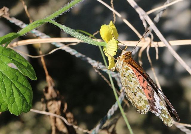 ゴーヤの花と褄黒豹紋メス 1 10 5