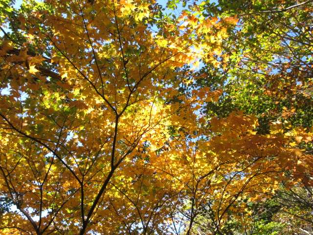 IMG0086JPG黄葉の林