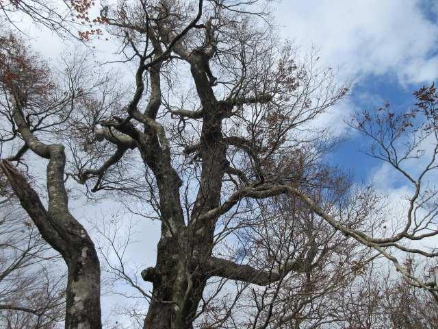 IMG0066JPG落葉のブナ林