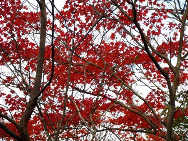 IMG0109JPG天井の紅葉