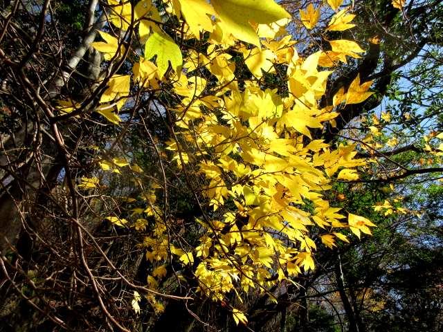 IMG0047JPG黄葉も鮮やか