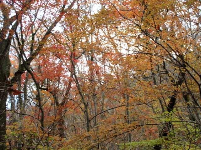 IMG0103JPG白泉荘上の紅葉の林