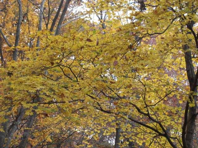 IMG0123JPG黄葉樹