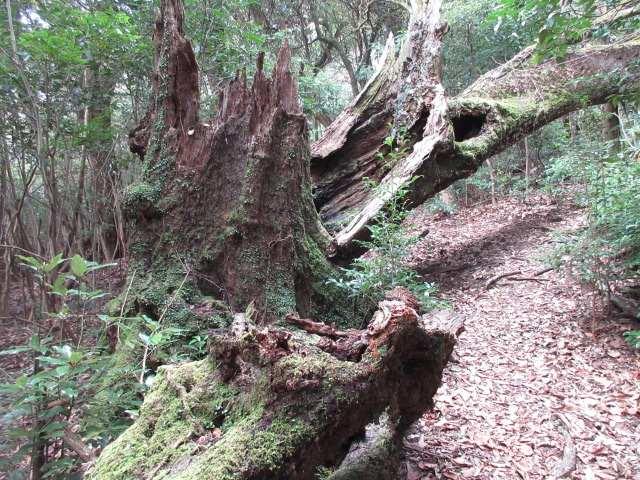 IMG0059JPG苔の倒木