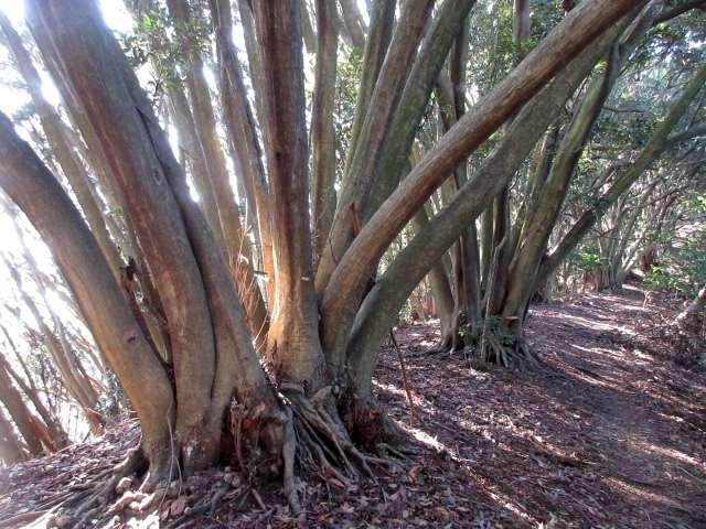 IMG0070JPG特徴ある樹林