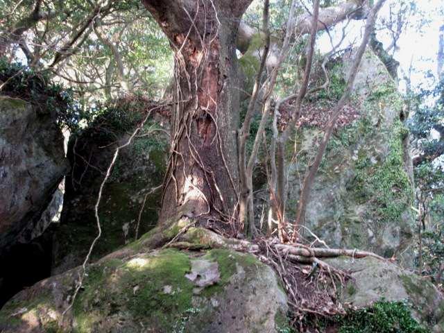 IMG0018JPG大岩に大木