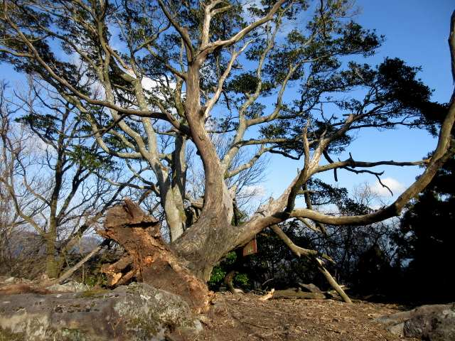 IMG0019JPG落合山の大木