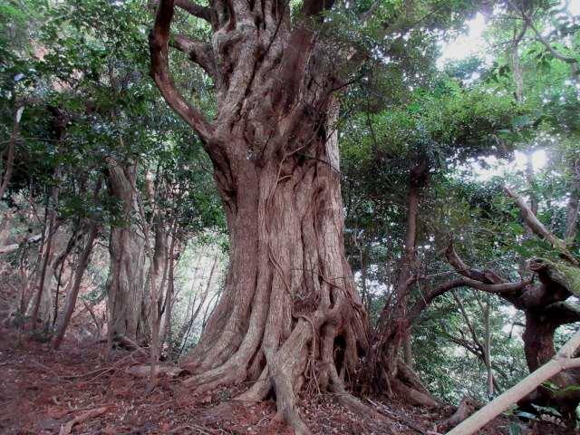 IMG0010JPG大樹の林