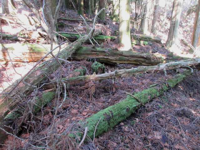 IMG0028JPG朽ちた倒木