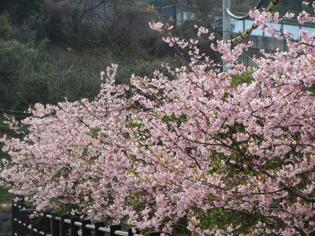 IMG0017JPG桜