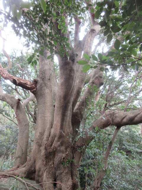 IMG0036JPG大樹