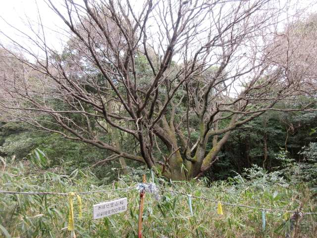 IMG0029JPG里山ザクラ樹齢300年
