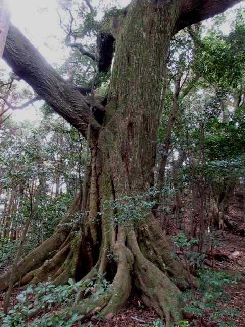 IMG0028JPG大樹