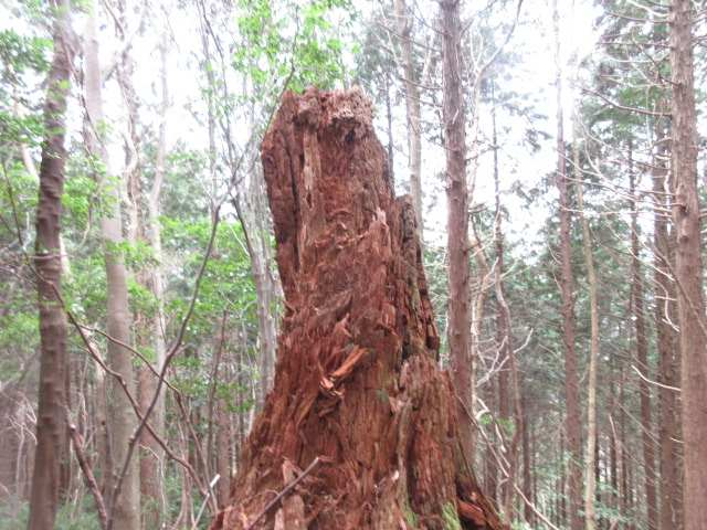 IMG0066JPG枯大木