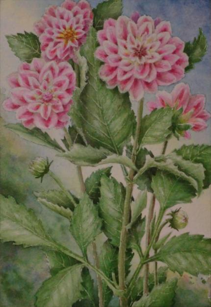 ピンク色のダリア 1910