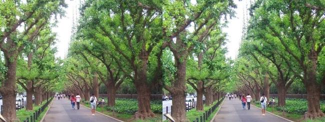 神宮外苑いちょう並木①(平行法)