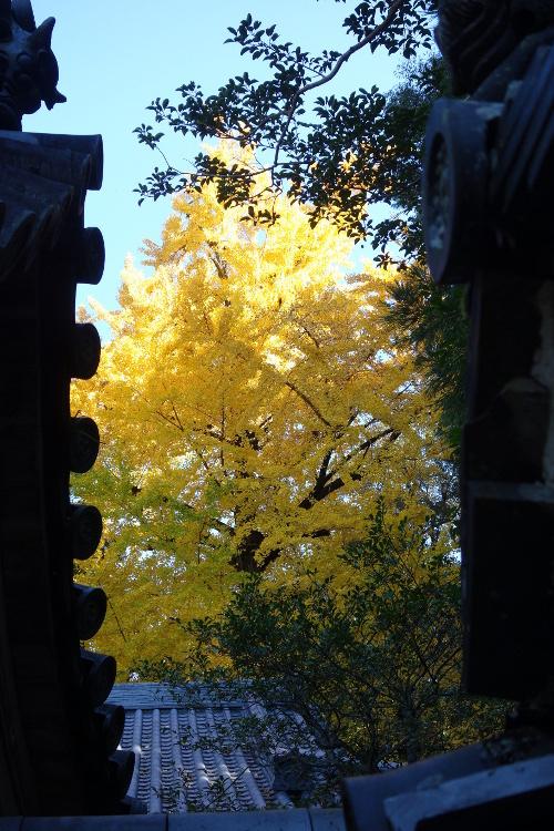 石上神宮・大イチョウと山之辺の道01