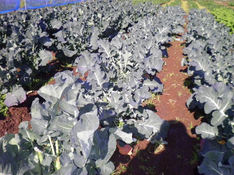 冬野菜2020