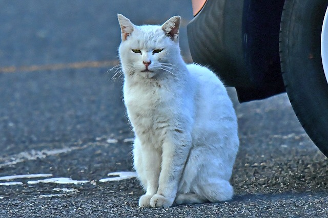 近所の白猫ちゃん 野良