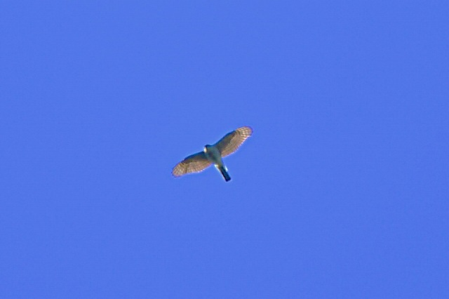 高~い所に鷹発見 だけど君はなに鷹さんですか~