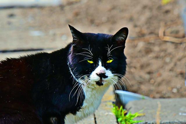 良くいる白黒ネコ