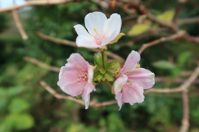 ヤバイ ソメイヨシノが咲いている
