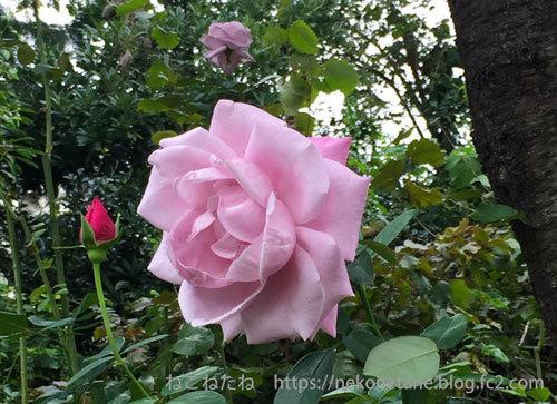秋のバラ写真
