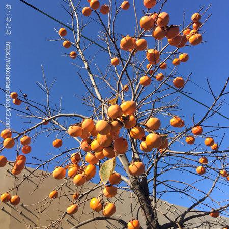 柿の木写真