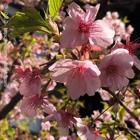 河津桜の花写真