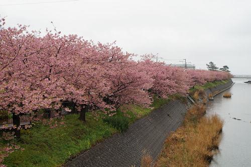 20200216河津桜8