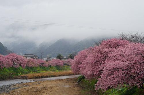 20200216河津桜9
