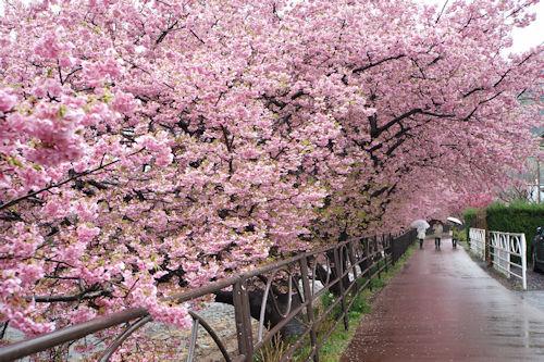 20200216河津桜12