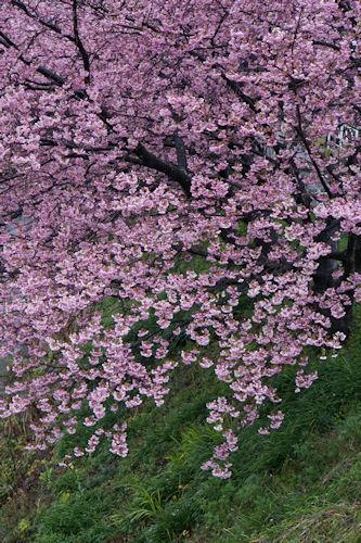 20200216河津桜14
