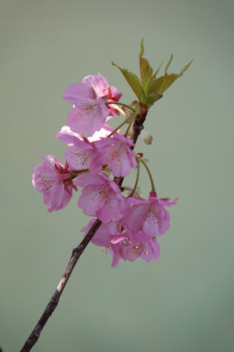 20200217桜まつり6