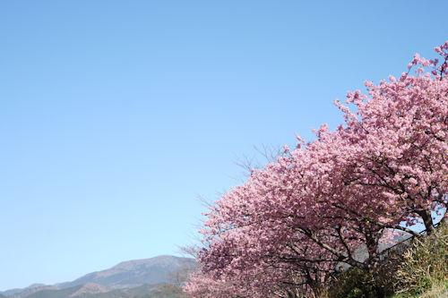 20200217桜まつり1