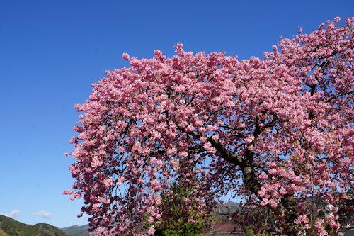 20200217桜まつり2