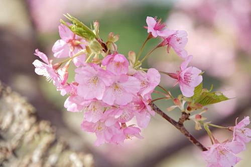 20200217桜まつり8