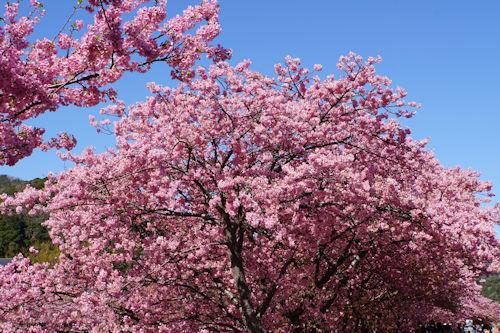 20200217桜まつり3