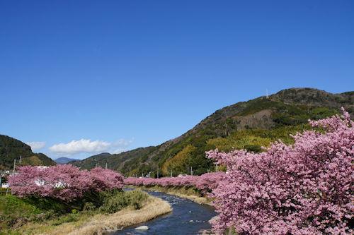20200217桜まつり4