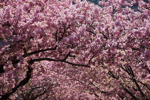 20200217桜まつり5